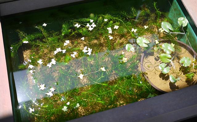 マツモ 松藻 金魚藻 ビオトープ 水生植物 Ceratophyllum demersum Coontail Hornwort メダカ