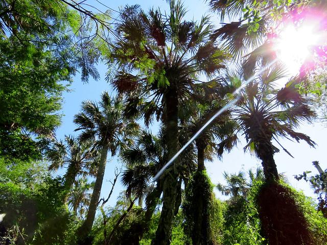 Sabal Palms (Sabal Palm Sanctuary)