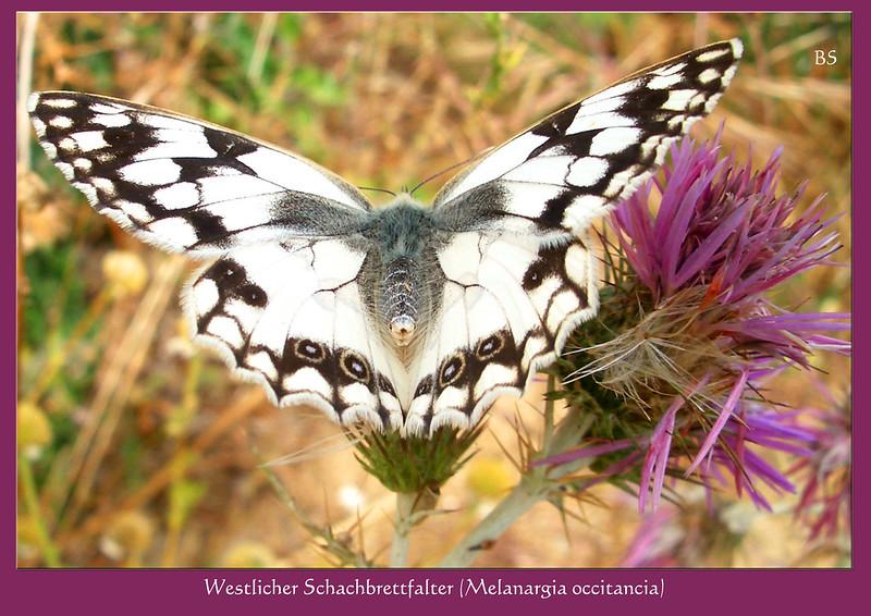 """Westliches Schachbrett"""" (Melanargia occitancia) ... Schmetterling, Falter ... Südfrankreich Département Pyrénées-Orientales ... Foto: Brigitte Stolle, Mannheim"""
