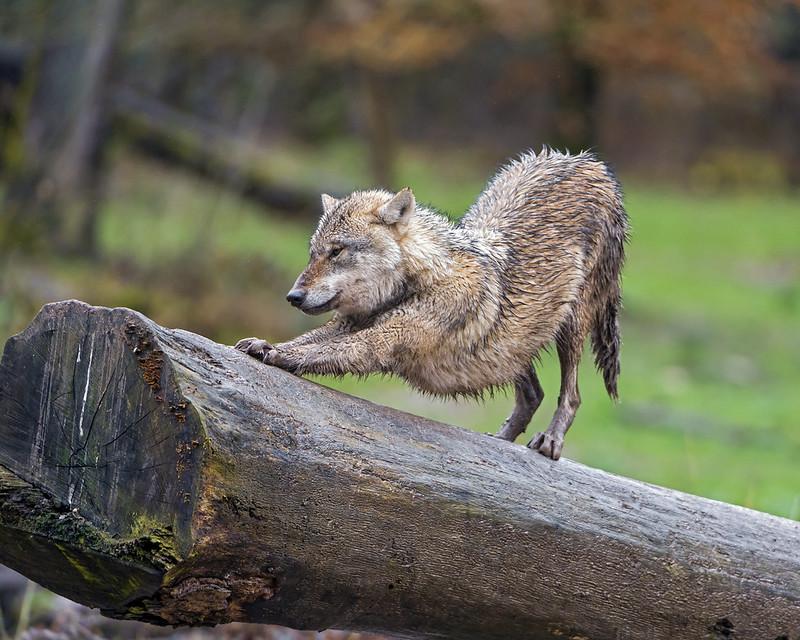 Strethching wolf