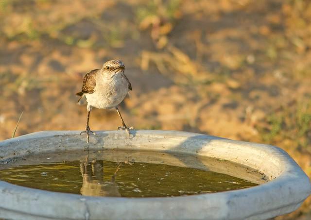 Mocking-Bird-2-7d_2166