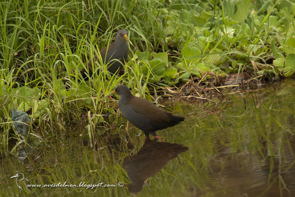 Gallineta negruzca (Blackish Rail) Pardirallus nigricans