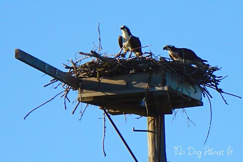 Daddy and Mama Osprey