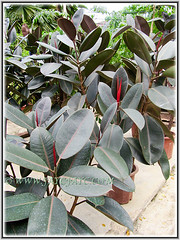 Several pots of Ficus elastica 'Black Prince' for sale at a nearby nursery, Feb 25 2014