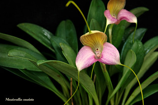 Masdevallia caudata | by emmily1955