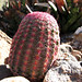 cactus dreams of being easter egg or swimming cap