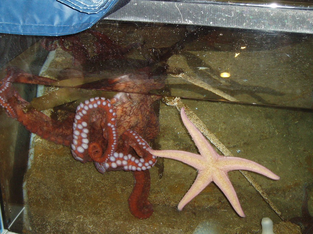 Octopus and Starfish   The giant pacific octopus eating ... - photo#19