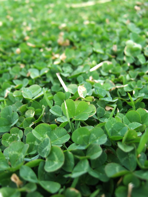 clovers - Flickr - Photo Sharing!