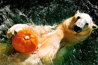 Whats the matter? You've never seen a Polar Bear with a pumpkin? | by ucumari photography