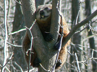 ~Groundhog up a Tree~ | by ~Sage~