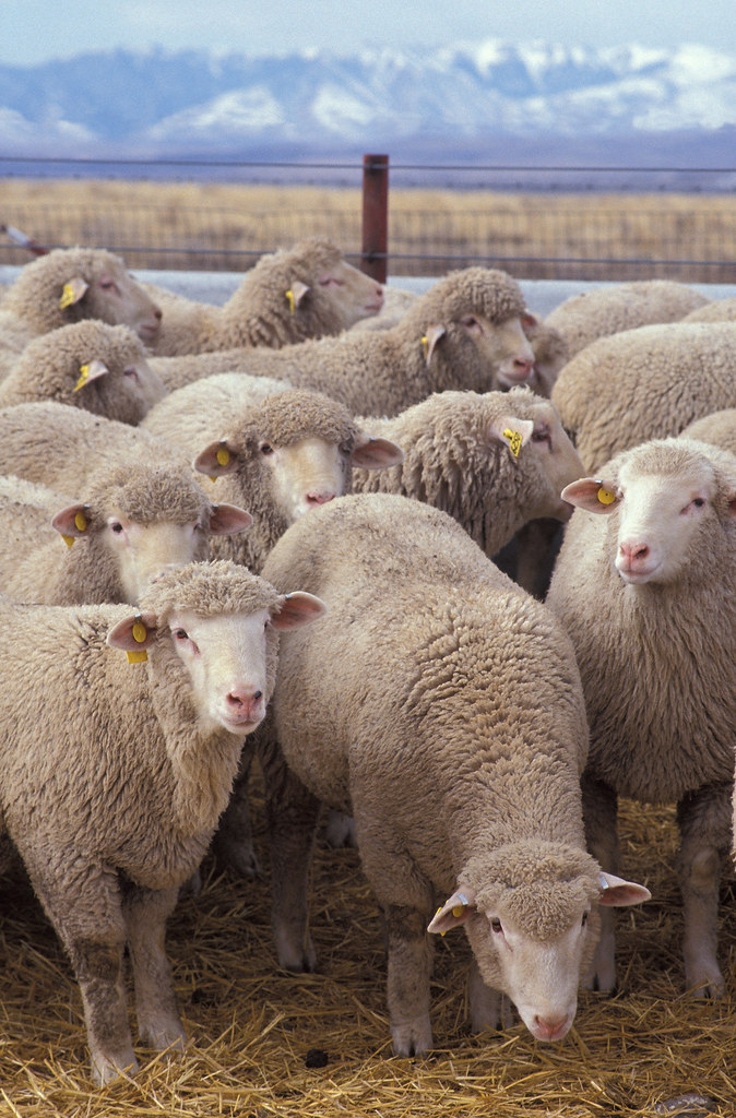 sheep   by Royalty-free image collection