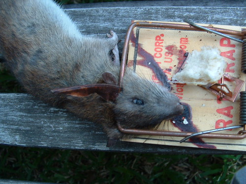 Rat tapette lolo from tahiti flickr - Tapette a rat ...