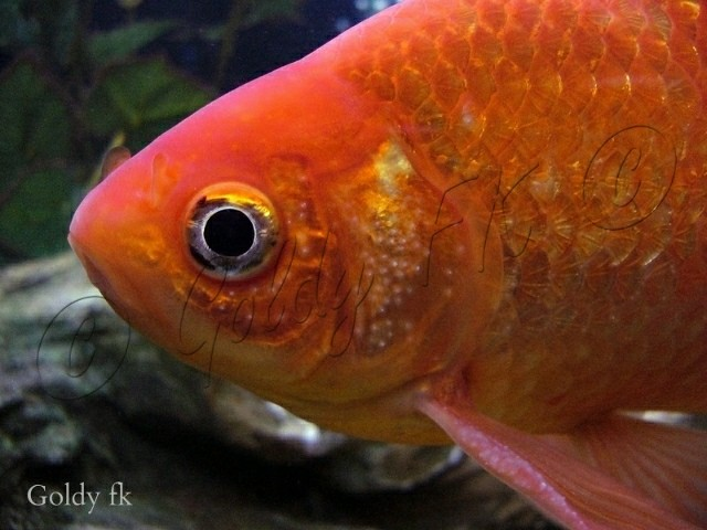 How to sex a male goldfish you can see white breeding for Koi breeding pond