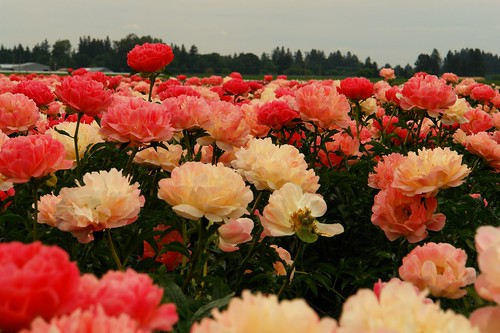 coral peonies wallpapers high - photo #6