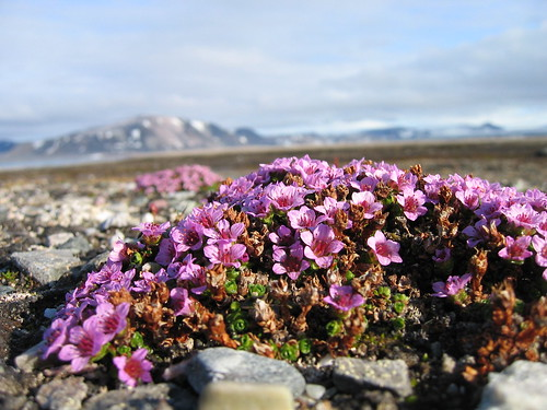Purple Saxifrage | by Alastair Rae