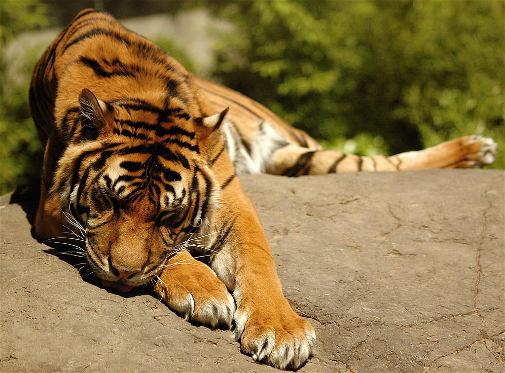 Tiger, de Vincent van Dam, con licencia CC BY-NC 2.0