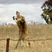Boxing kangaroos 0