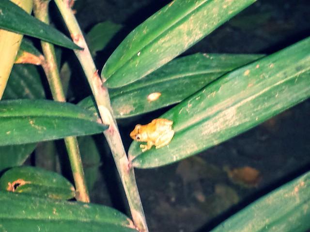 Première grenouille découverte au Costa Rica !