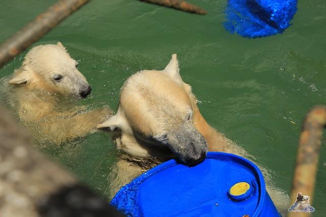 Eisbär Fiete im Zoo Rostock  161