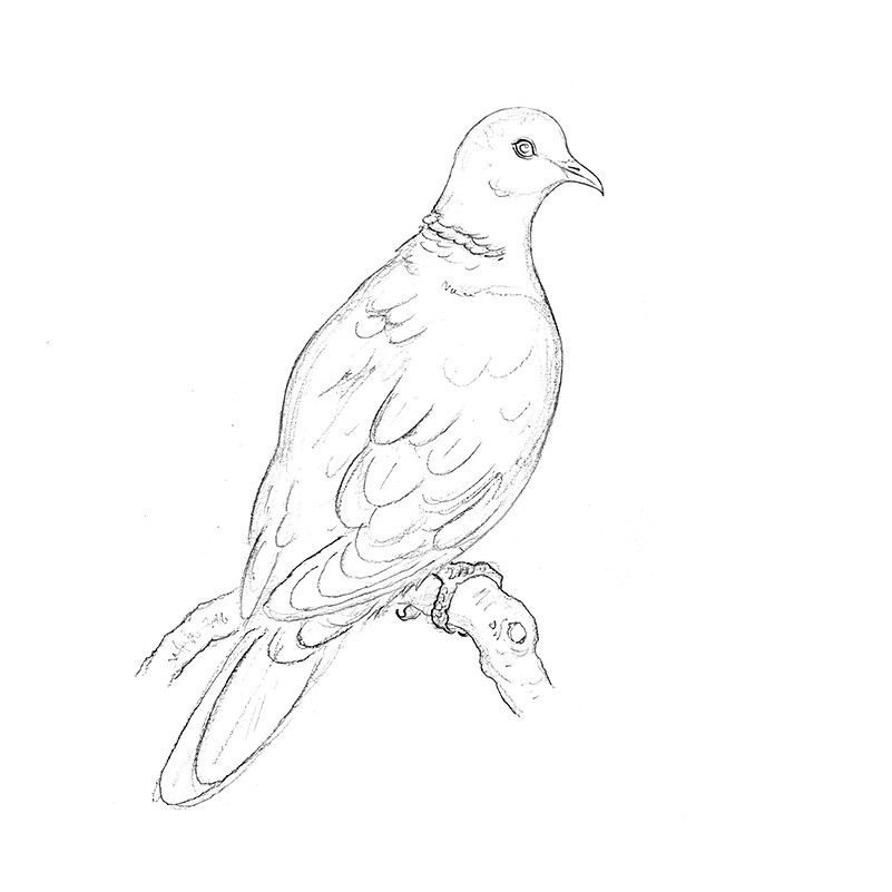 collared dove sketch by amy holliday