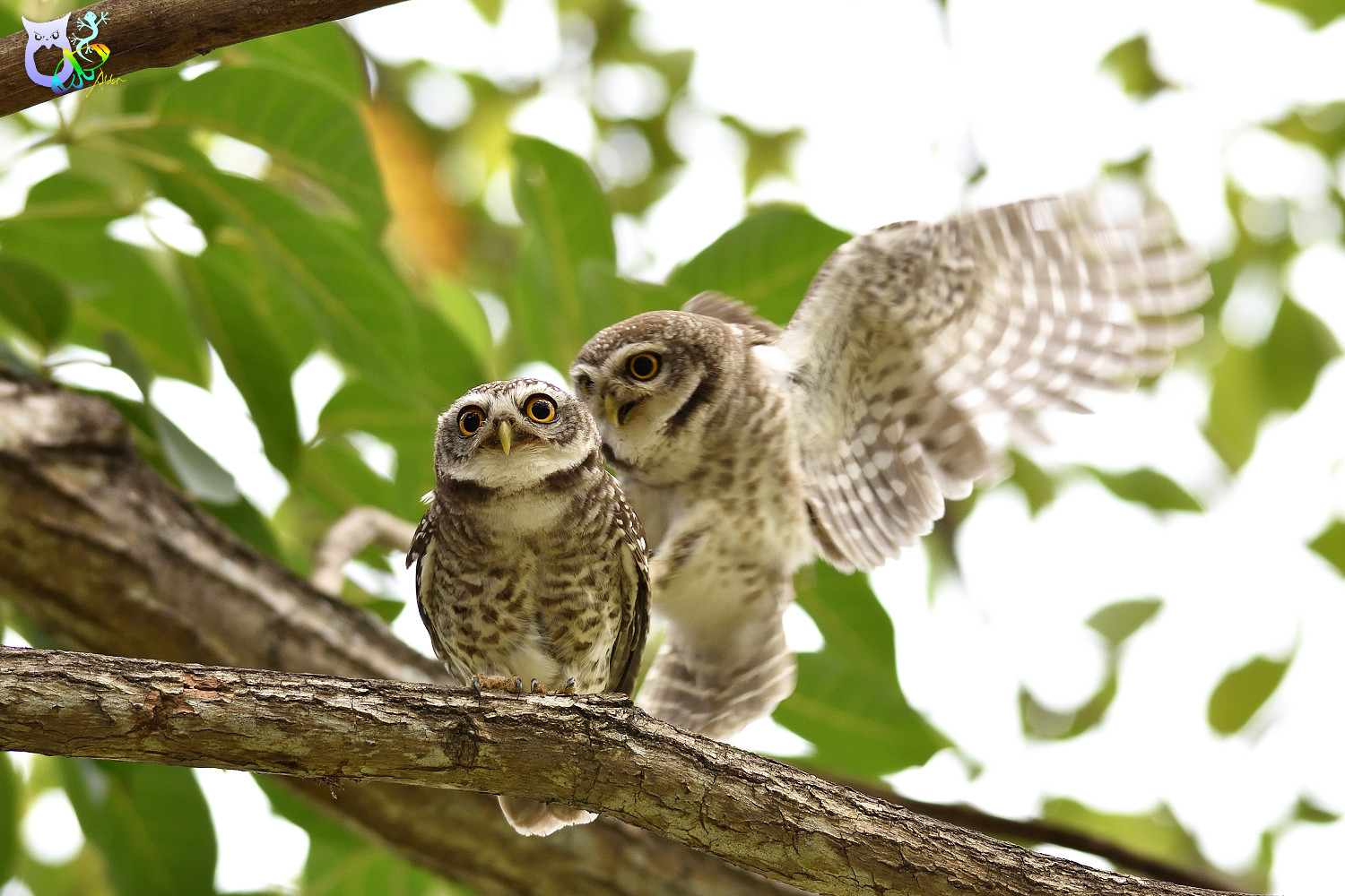 Spotted_Owlet_3252