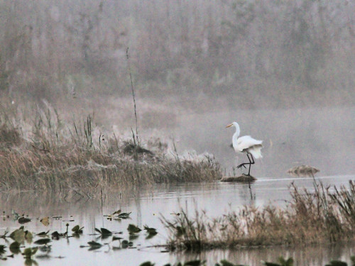 Great Egret in fog before sunrise 09-20170206