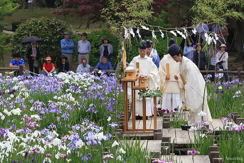 Japanese Iris Flower Festival 2015