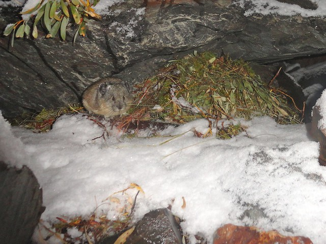 pika tending haypile in snow