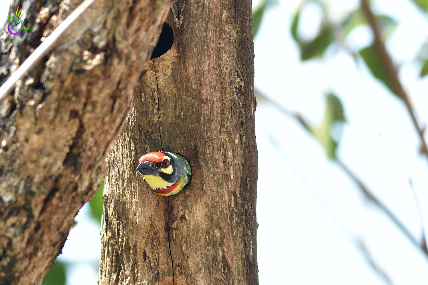 Coppersmith_Barbet_6785