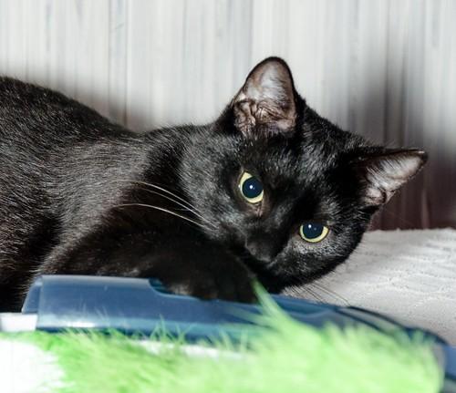 Morgana, gatita negra monísima, juguetona y tímida esterilizada, nacida en Julio´16, en adopción. Valencia. ADOPTADA. 32841048115_312f9a21dc