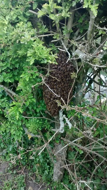 bee swarm June 15 3