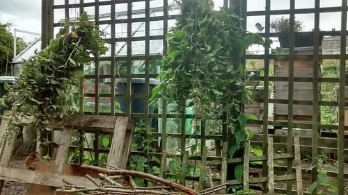 hanging nettles June 15 3