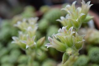 DSC_0015 Rosularia chrysantha ロスラリア・クリサンサ