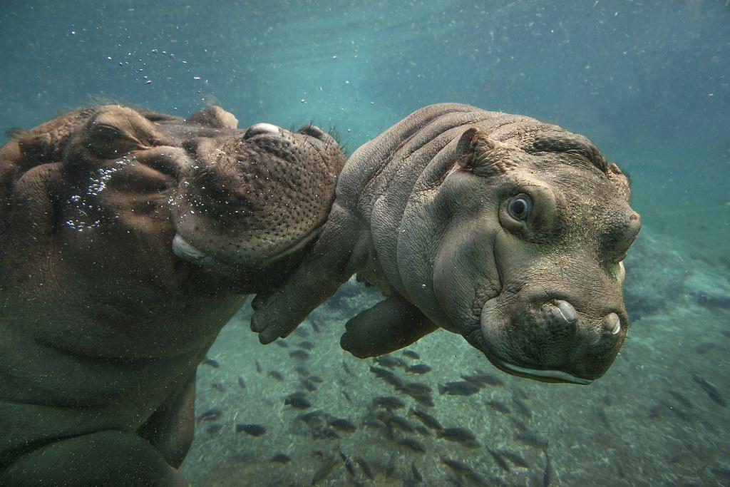 hippo calf devi san diego zoo flickr