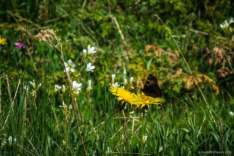 Una mariposa en una flor de diente de león