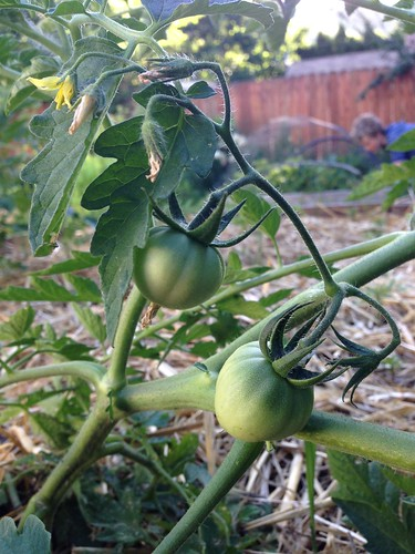 Developing tomatoes!