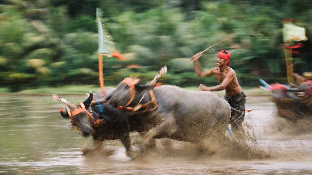 the mekepung 'mekepung' bull races tradition in jembrana west of bali island  e-mail : putuagus6@gmailcom ph : +6285935392295 #whatsapp standar navigasi pos.