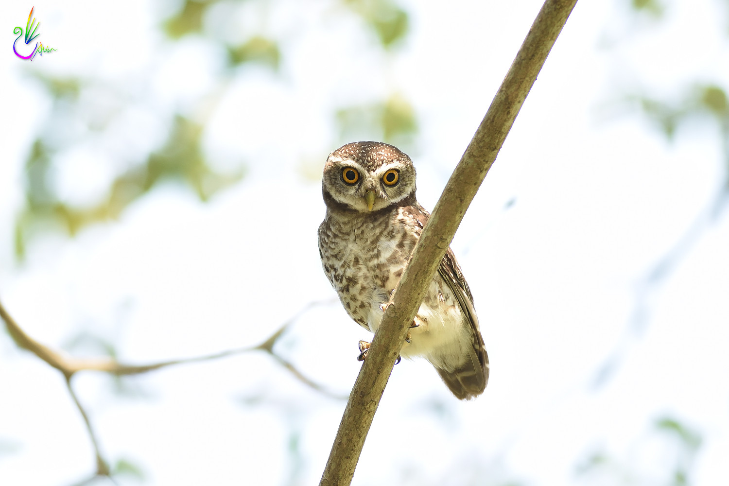 Spotted_Owlet_6838