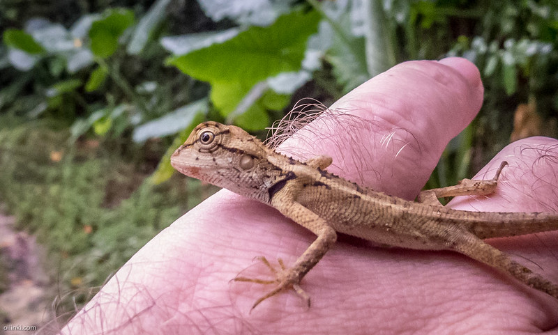 Oriental garden lizard juvenale, Thailand, Phuket