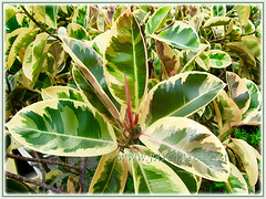 Striking foliage of Ficus elastica 'Variegata' (Variegated Indian Rubber Tree/Fig, Variegated Rubber Fig/Tree, Variegated Rubber Plant/Bush), Nov 16 2013