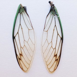 Cicada wings | by Golly Bard