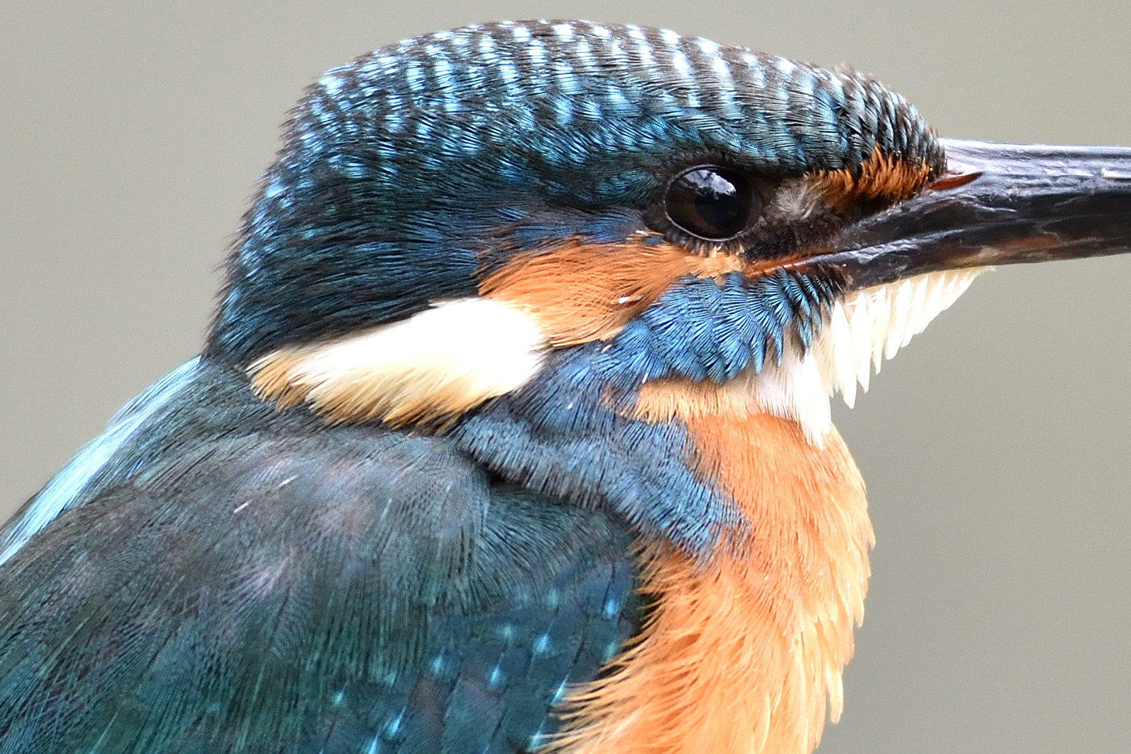 Common_Kingfisher_1580_O