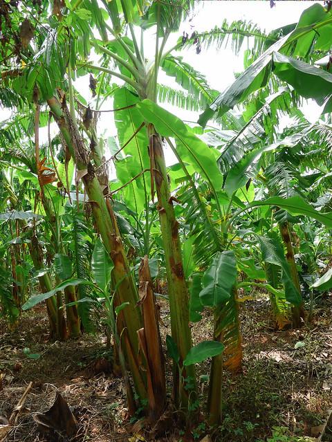 269-plantation