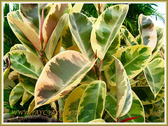 Ficus elastica 'Variegata' (Variegated Indian Rubber Tree/Fig, Variegated Rubber Fig/Tree, Variegated Rubber Plant/Bush), with striking variegated leaves, Nov 16 2013