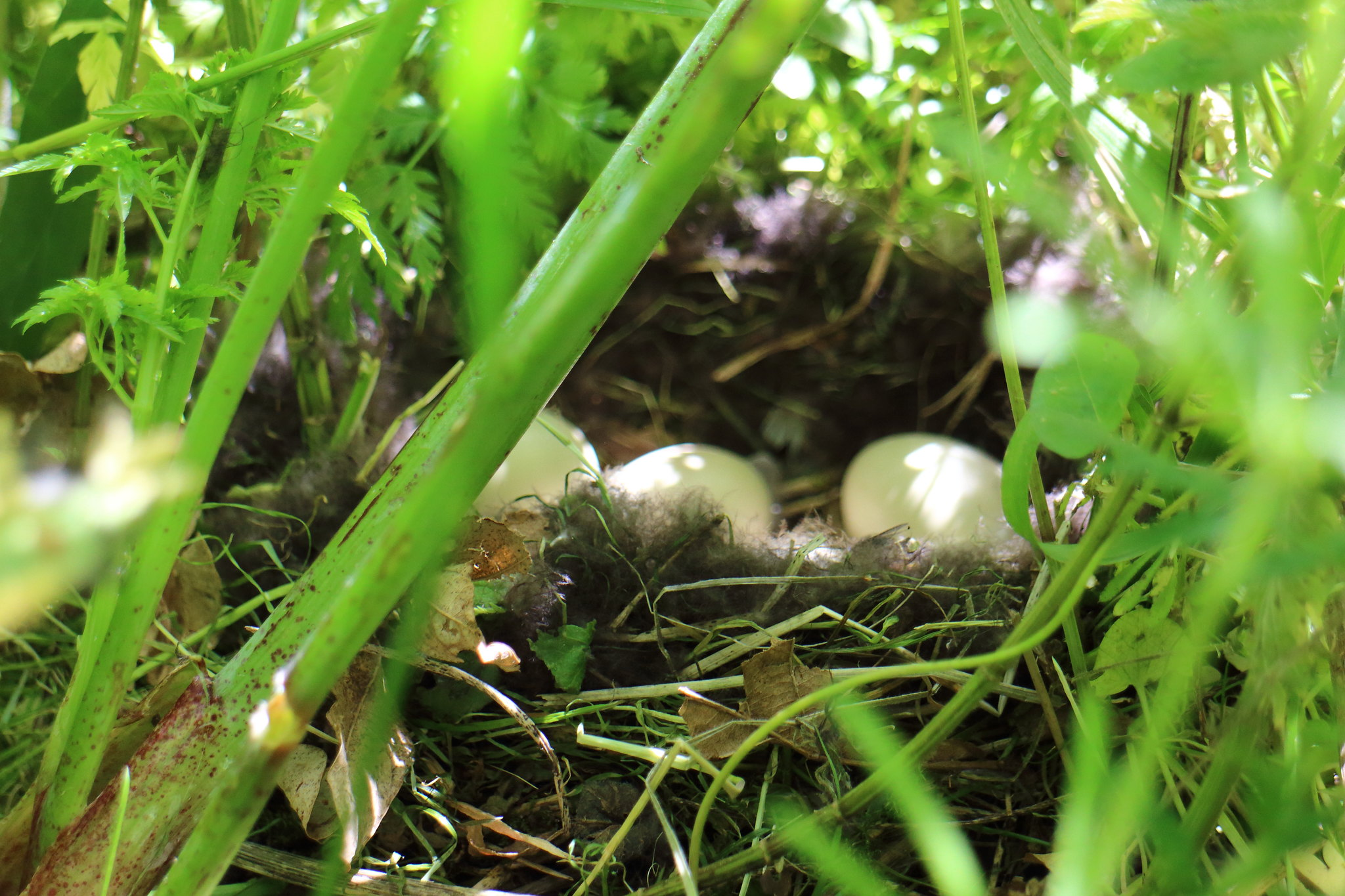 Tufted Duck Nest