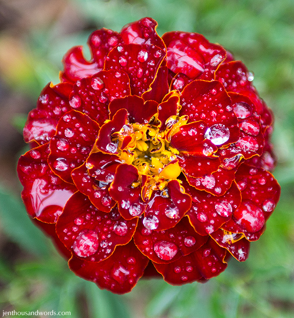 Marigold after the rain 4