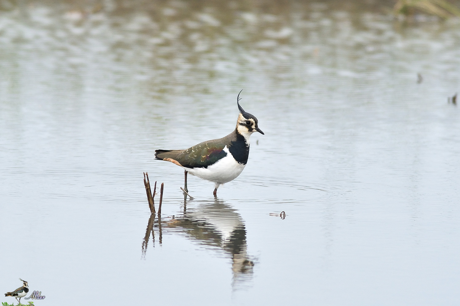 Northern_Lapwing_4690