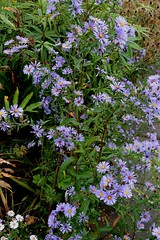 ASTER 'Fingers and Thumbs'