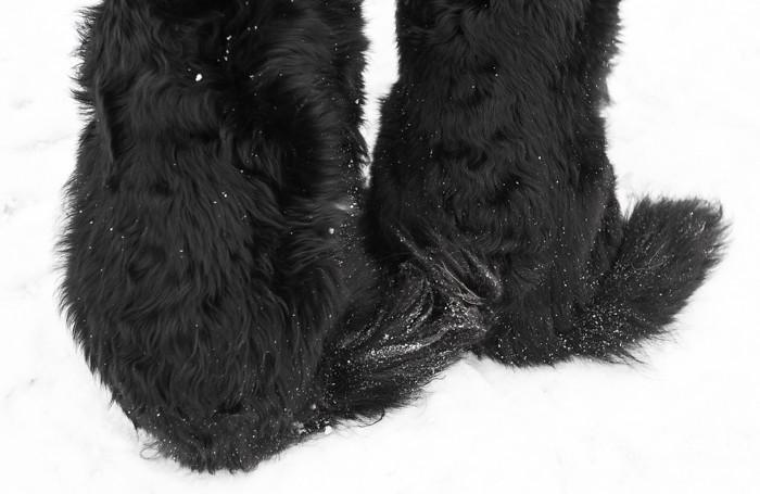 belgianpaimenkoira groenendael mustavalkoinen