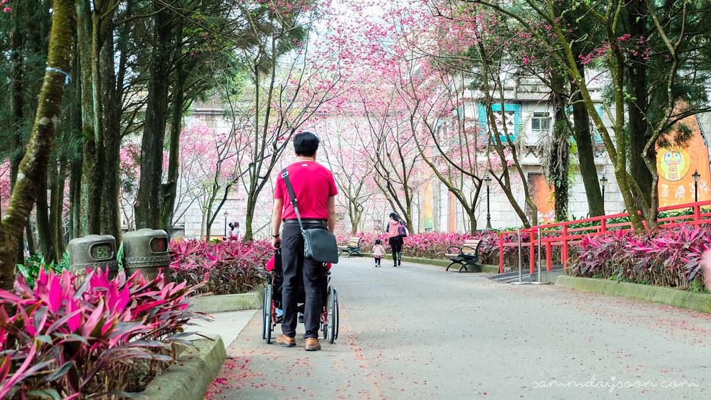 taiwan-cherry-blossom-2
